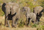 Elephants-in-Africa