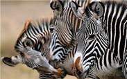 Lewa--Zebras2